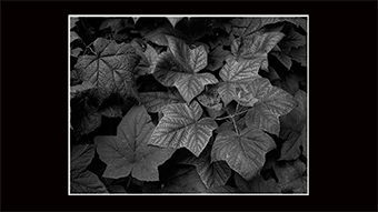 The Richard Philip Soltice Gallery - Thimbleberry Leaf Variations, Columbia River